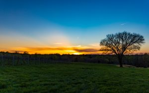 Southern Illinois Sunset Over Grapevines and Elm